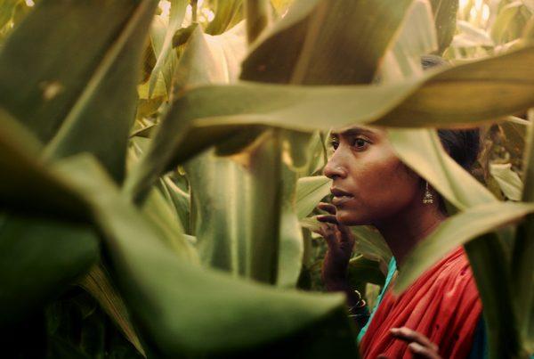 Le champ de maïs